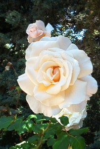 A bloom from an 85 year old rose bush