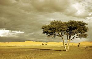 Solitary tree in the desert